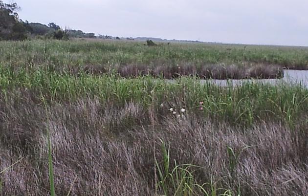 Tidal Freshwater Marsh