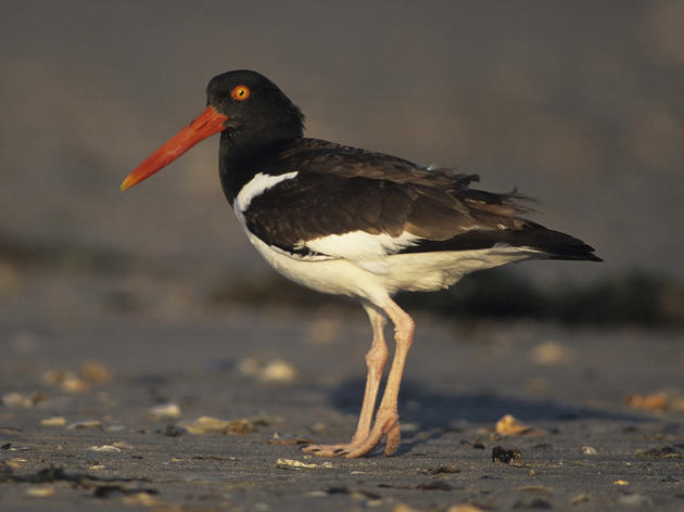 American Oystercatcher Research 2010-2016