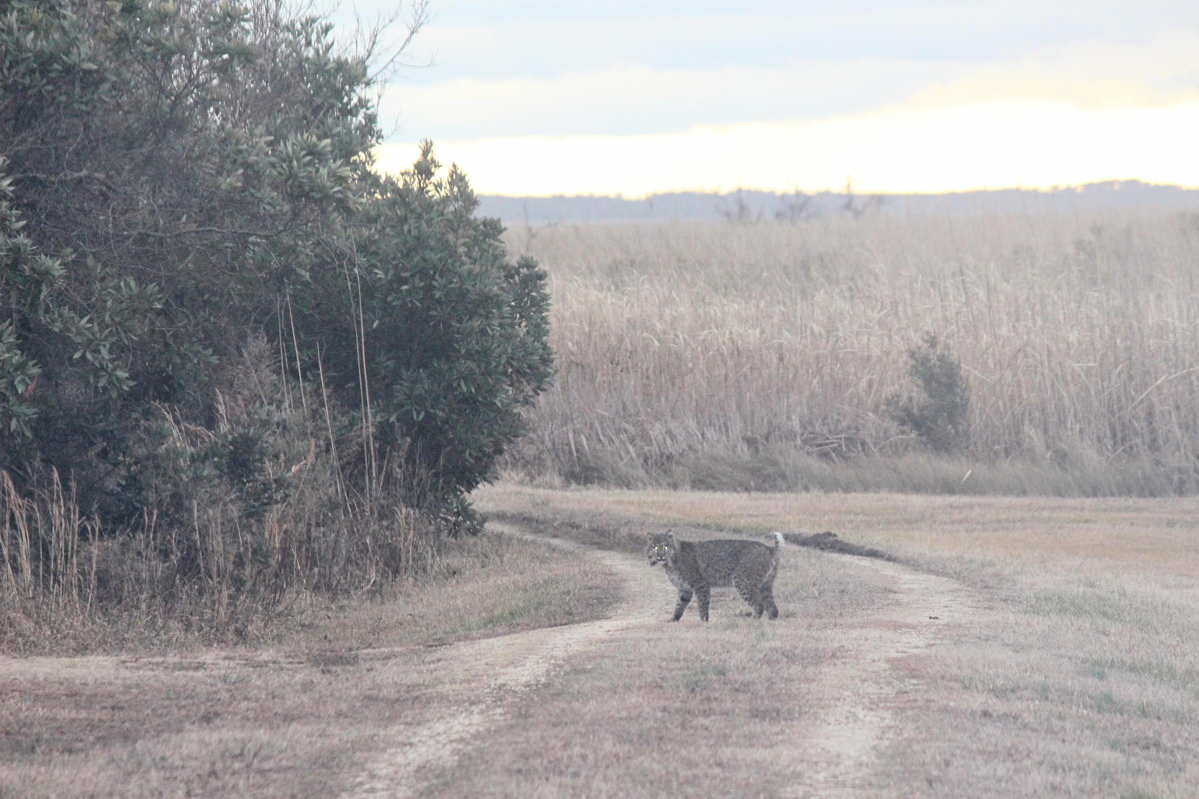 Bobcat at Pine Island