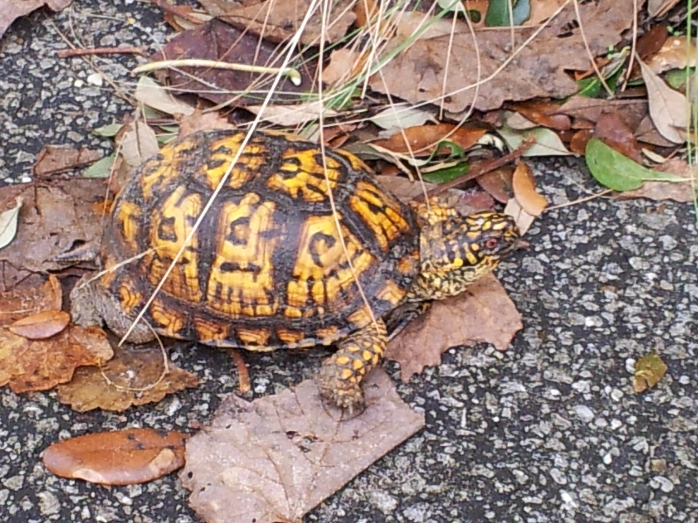 Box Turtle exploring Pine Island
