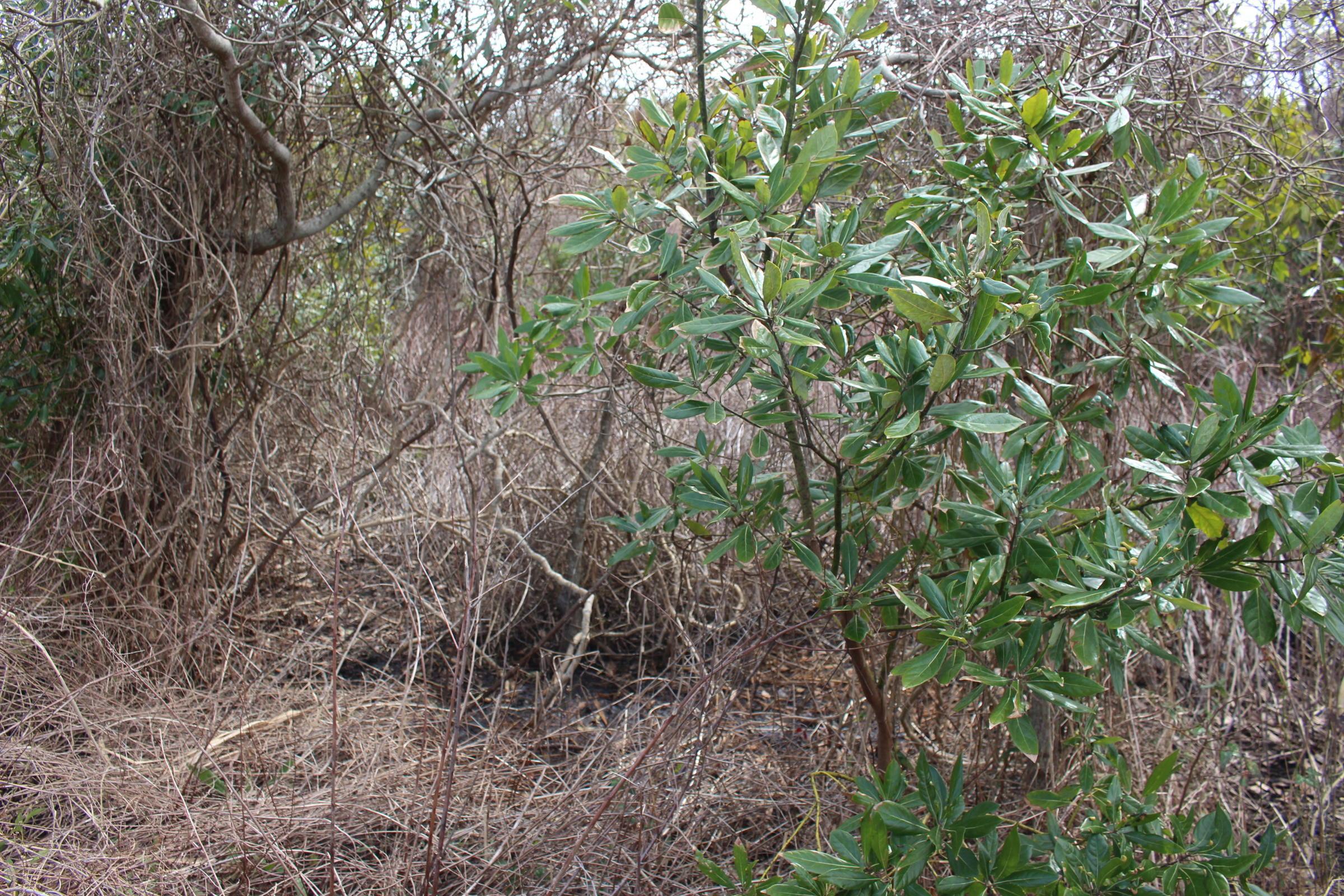Red Bat shrub swamp